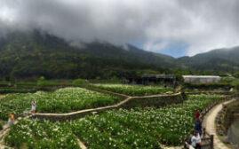台湾印象 - 极具小清新风格的阳明山海芋花季